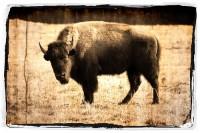 Buffalo Clover