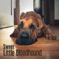Sweet Little Bloodhound